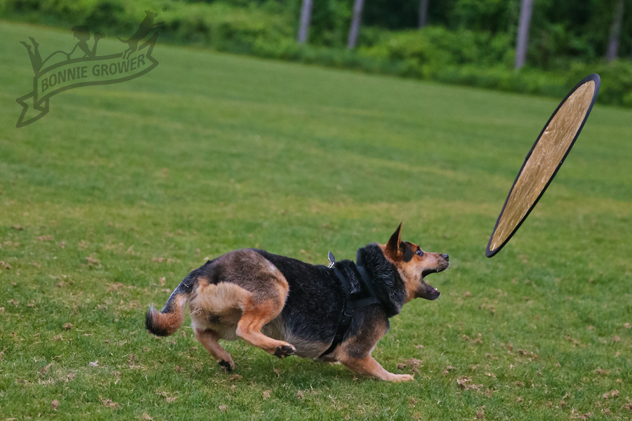 Australian-Cattle-Dog-with-reflector-2
