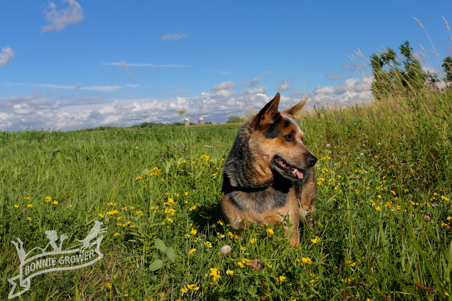 Australian Cattle Dog with beautiful blue sky